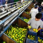 AGAP: El 4% de áreas sembradas genera formalidad en 20% de agricultores