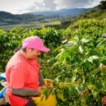 Productores registran ventas por S/ 112 millones en Piura