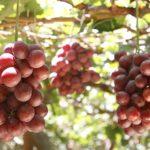 Recambio varietal en uva de mesa en el sur de Perú