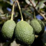 """La palta es el """"oro verde"""" de las exportaciones peruanas"""