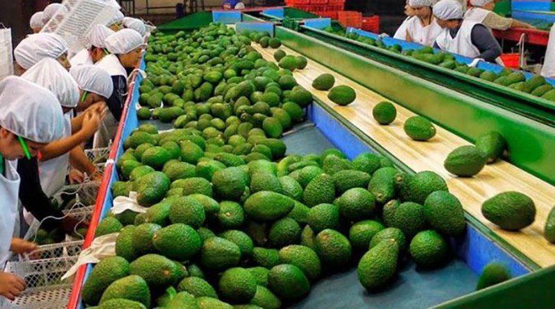 El volumen de paltas exportado por Perú en 2020 bate récords