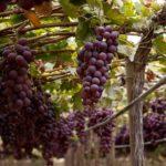 Las uvas lideraron las exportaciones del subsector frutas frescas durante el primer trimestre del 2018