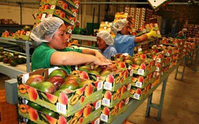 Exportación de mango fresco caería 12% en la campaña 2020/2021