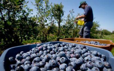 Agroexportaciones llegarían a US$ 7,000 millones este año lideradas por arándanos