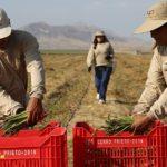 Cerro Prieto instala proyecto agrícola cercano a Majes-Siguas II