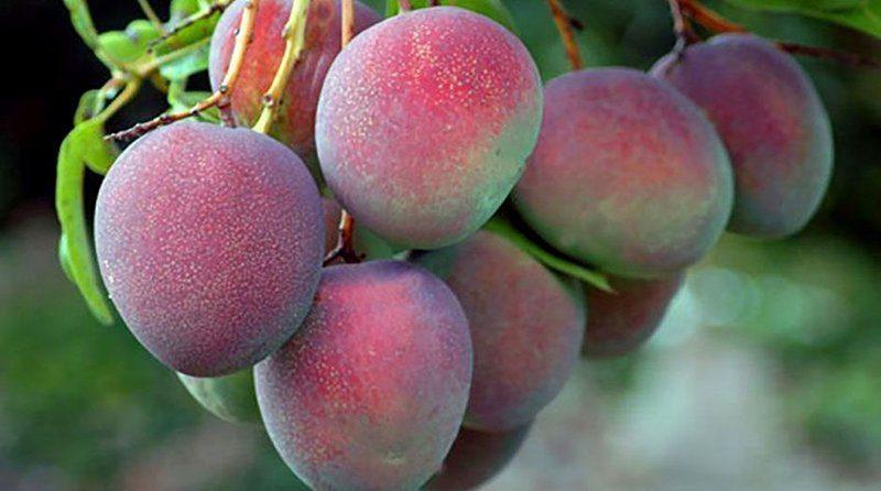 Países Bajos y Estados Unidos fueron los principales destinos para el mango peruano en la campaña 2020/2021