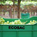 Ecosac proyecta exportar 1.450 contenedores de uva de mesa en la presente campaña
