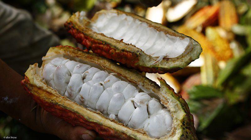 National Geographic reconoce al cacao de Piura como el mejor del mundo