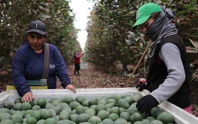 AGAP: Pequeños productores a lo largo del país se han sumado a la cadena agroexportadora
