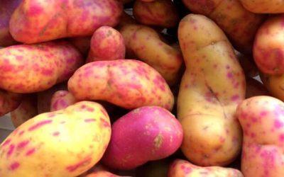 Se incrementa la exportación peruana de olluco