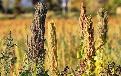 Presentan nuevas variedades de quinua y kiwicha para hacer frente a la pandemia