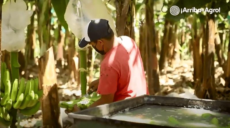 Arriba el Agro – Capítulo 2: Banano Orgánico en Querecotillo, Piura